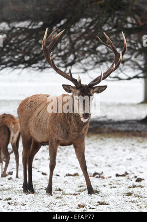 Phrase simply mature male red deer think
