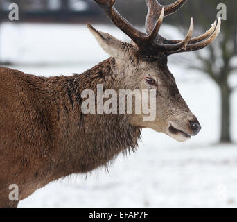 The mature male red deer