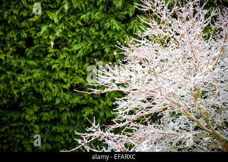 Bare branches of a tree covered in snow with an evergreen hedge behind still green - Stock Photo