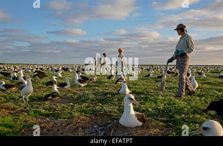 Volunteers count Albatross nests January 3, 2015 on Midway Atoll National Wildlife Refuge in the Pacific Ocean. - Stock Photo
