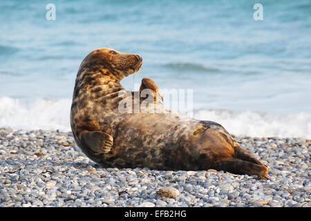 Grey Seal, Kegelrobbe (Halichoerus grypus), Helgoland, Schleswig-Holstein, Deutschland, Europa - Stock Photo