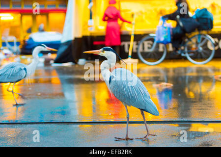 Amsterdam, Netherlands. 29th January, 2015. Blue Herons, usually found near estuaries, lakes and rivers, scavenge - Stock Photo