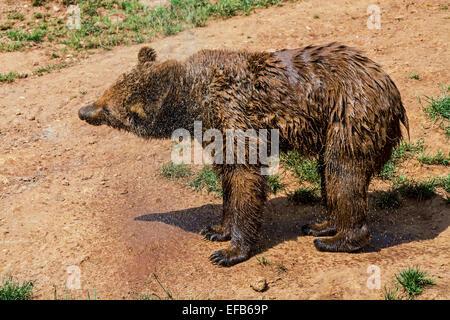 Eurasian brown bear (Ursus arctos arctos) shaking off water from wet fur after bathing - Stock Photo