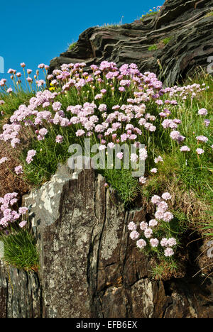 A cluster of sea pinks on a cliff. Coastal plant of summer, aka thrift/ armeria maritima. - Stock Photo