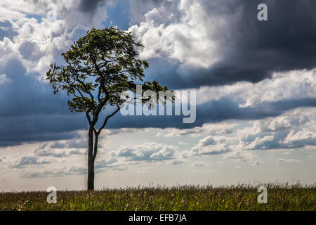 A lone beech tree (Fagus) against a stormy sky. - Stock Photo
