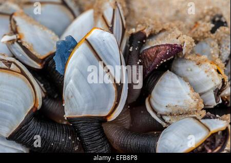 Common goose barnacles / pelagic gooseneck barnacle / smooth gooseneck barnacles (Lepas anatifera) washed on the - Stock Photo