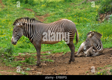 Two Grévy's zebras / imperial zebra (Equus grevyi) native to Kenya and Ethiopia - Stock Photo