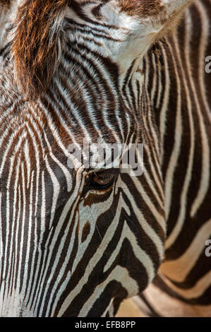 Grévy's zebra / imperial zebra (Equus grevyi) native to Kenya and Ethiopia, close up of striped head - Stock Photo