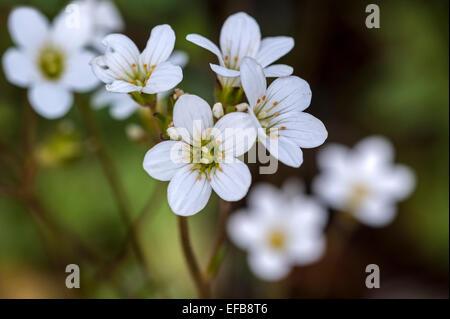 Meadow saxifrage (Saxifraga granulata) in flower - Stock Photo