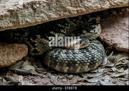 Northern black-tailed rattlesnake / black tailed rattlesnake / green rattler (Crotalus molossus) resting curled - Stock Photo