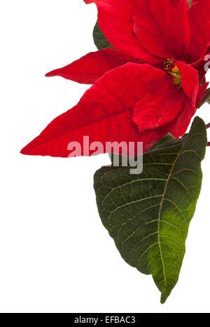 A Pointsettia Flower and leaf  ' Euphorbia Pulcherrima' - Stock Photo