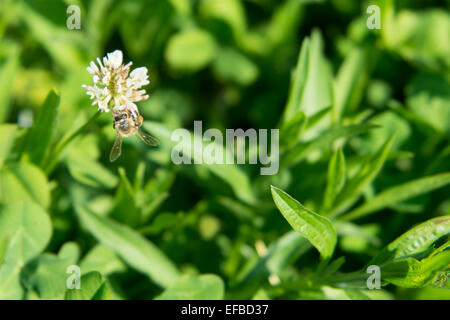 Honey bee sitting on a white clover flower on a green meadow - Stock Photo