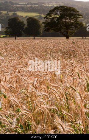 Expansive & scenic, a sunlit field of ripening wheat stretches across the flat valley floor, hillside rising beyond - Stock Photo