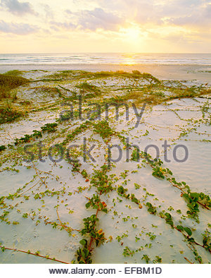Railroad vine [lpomoea pes-caprae var. emarginata], and 'Gulf of Mexico beach at sunrise.  Padre Island National - Stock Photo