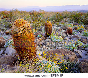 California barrel cactus.  Mohave Desert.  Anza-Borrego State Park, California. - Stock Photo