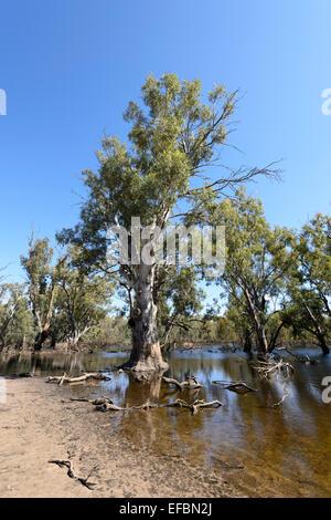 River Red Gums, Hattah Kulkyne National Park, Victoria, VIC, Australia - Stock Photo