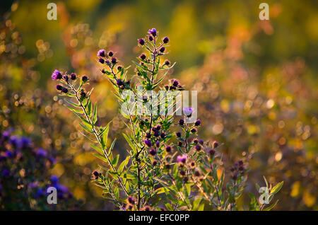 Purple aster flowers growing in a fall meadow. - Stock Photo