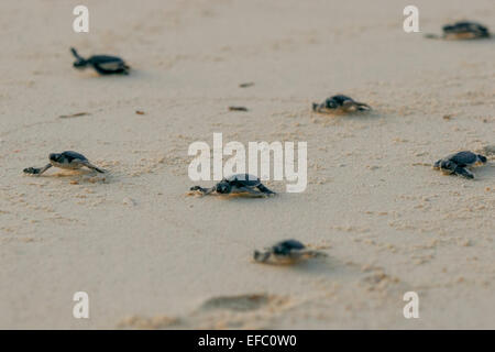 Newly hatched baby green turtles (Chelonia mydas) in Borneo. - Stock Photo