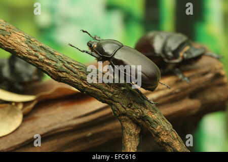 Beetle on wood in the forest - Stock Photo