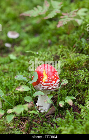 Fly amanita mushroom - Stock Photo