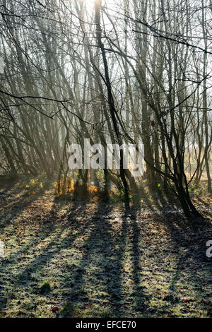 Leafless tree trunks, silhouetted against winter sun, casting shadows on frosty ground. - Stock Photo