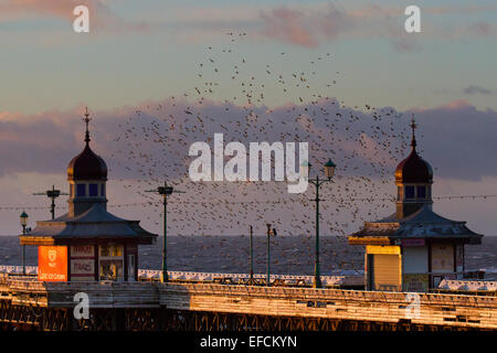 Birds in Flight, flying in the clouds flocks of Starlings at Blackpool, Lancashire, UK. Starling murmuration at - Stock Photo