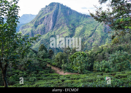 View of Adam's Peak as seen from Little Adam's Peak.green scenery.Hill,mount,mountain.Ella Gap.Tea plantation worker - Stock Photo