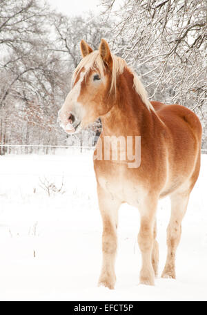 Handsome Belgian Draft horse in winter, with snow on his lips - Stock Photo