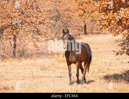 Dark bay Arabian horse walking towards viewer with a curious expression on a  bright, sunny day - Stock Photo