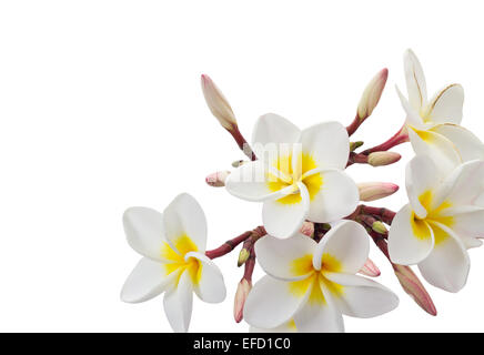 Plumeria flowers isolated on white background and clipping path - Stock Photo