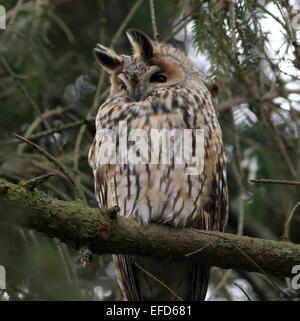 Long-eared Owl (Asio otus) in a pine tree - Stock Photo