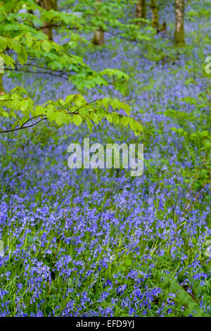 Bluebell wood in full bloom, Cumbria, UK - Stock Photo