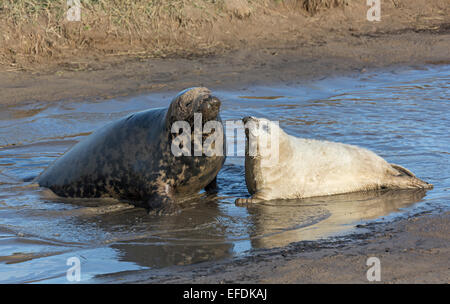 Grey seal, Halichoerus grypus, female with pup, Donna Nook national nature reserve, Lincolnshire, England, UK - Stock Photo