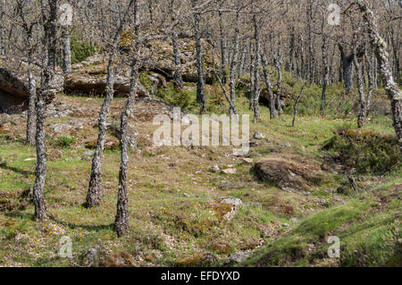 Pyrenean oak forest in Rascafria, Madrid, Spain - Stock Photo
