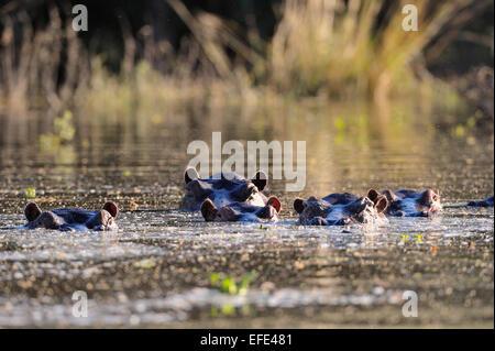Hippopotamus (Hippopotamus amphibicus) group in water, backlit, tributary of the Zambezi Lower Zambezi National - Stock Photo