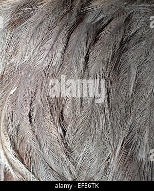 detail of emu bird  plumage ( dromaius novaehollandiae ) - Stock Photo