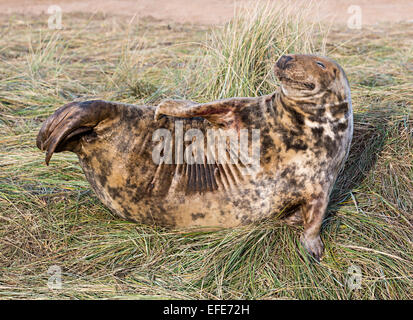 Grey seal, Halichoerus grypus, Donna Nook national nature reserve, Lincolnshire, England, UK - Stock Photo