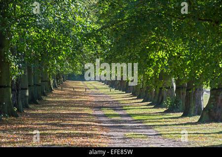 Lime; tree; avenue; Clumber; park; Sherwood; forest; Worksop; Nottinghamshire; UK - Stock Photo