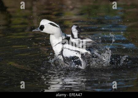 Photograph of a smew, Mergellus albellus, splashing in the water, bathing - Stock Photo