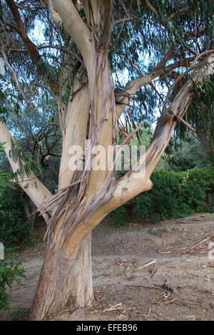 Tasmanian Blue Gum, Southern eucalyptus, Blauer Eukalyptus, Tasmanischer Blaugummibaum, Fieberbaum, Eucalyptus globulus - Stock Photo