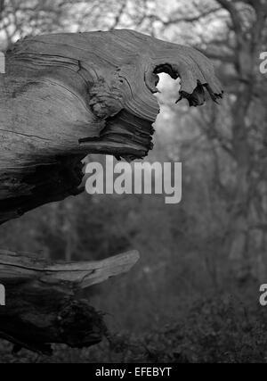 Monochrome images of woodland trees, Worcestershire, UK. - Stock Photo
