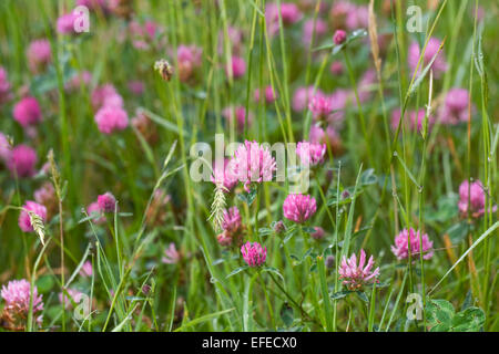 Trifolium pratense. Red clover in a wildflower meadow. - Stock Photo