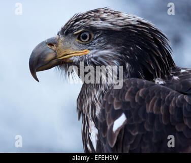 Powerful golden eagle in the wild along the banks of the Chilkat River in Haines, Alaska. - Stock Photo