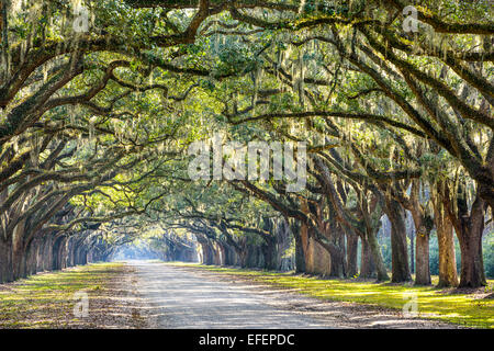 Savannah, Georgia, USA oak tree lined road at historic Wormsloe Plantation. - Stock Photo