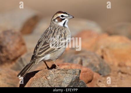Lark Sparrow - Chondestes grammacus - Stock Photo
