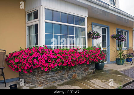 Petunia flower displays outdoor window box Ireland - Stock Photo