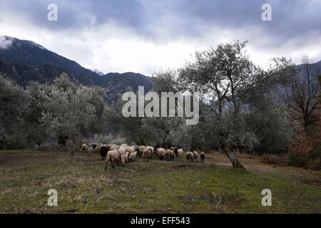 Herd of sheep in Evrytania region Central Greece - Stock Photo