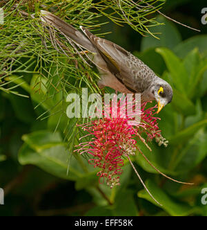 Australian Noisy miner bird, Manorina melanocephala feeding on nectar of red grevillea flower, against background - Stock Photo