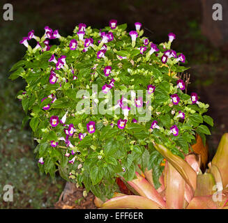 Cluster of bright purple / magenta and white flowers & green leaves of Torenia, an annual garden plant, against - Stock Photo