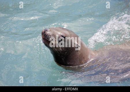 Sealion Called Sunny Single Captive at Cornish Seal Sanctuary Cornwall; UK - Stock Photo